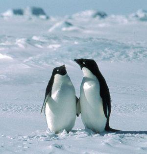 adelies penguins 9