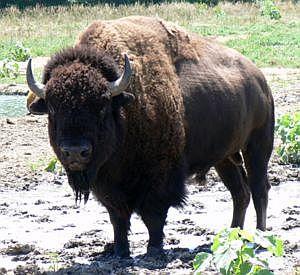 american bison 2411