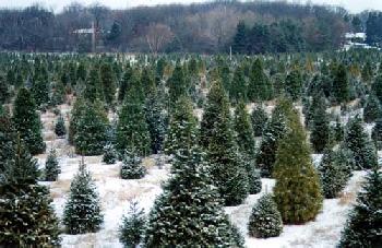 natural christmas trees
