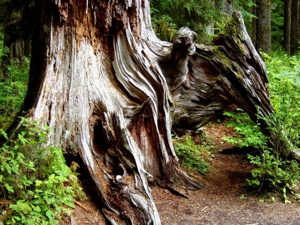 Old Sculpture in Hoh rainforest