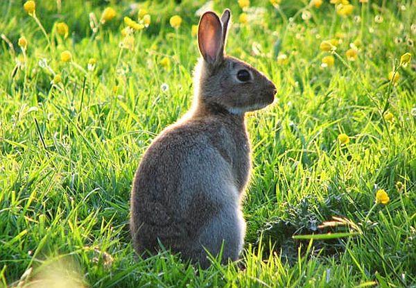Rabbits biofuel