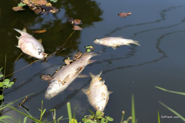 dead fish floated in the river, water resource, water pollution