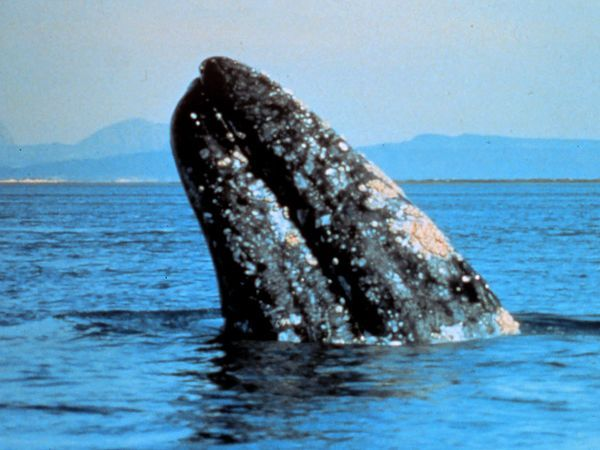 gray-whale
