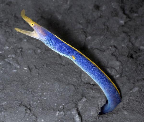 rainbow-eel