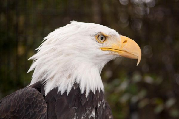 the-bald-eagle