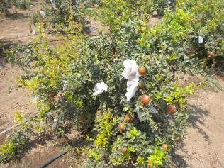 Use of Fabric Material for pomegranate protection in open plant #3