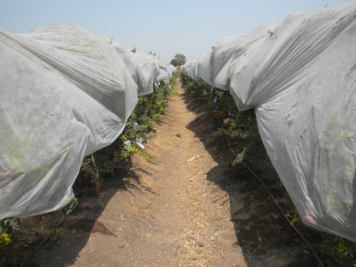 Pomgranate farm using non-woven fabric for sunburn protection : Side View