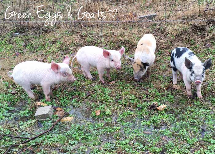 Piglets on Green Eggs & Goats Farm