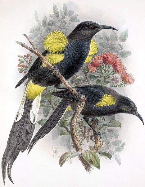 Moho nobilis, extinct. Others will follow. Painting by John Gerrard Keulemans, 1842-1912. Copyright expired in the US. Wikimedia Commons.