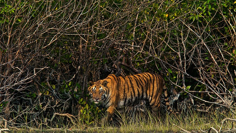 Sundarbans mangroves, home to a quarter of all Bengal tigers (Photo: MN Gaurav / Commons)