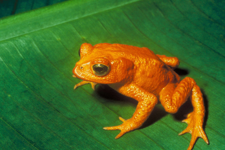 Golden toad (by U.S. Fish and Wildlife Service via Wikipedia)