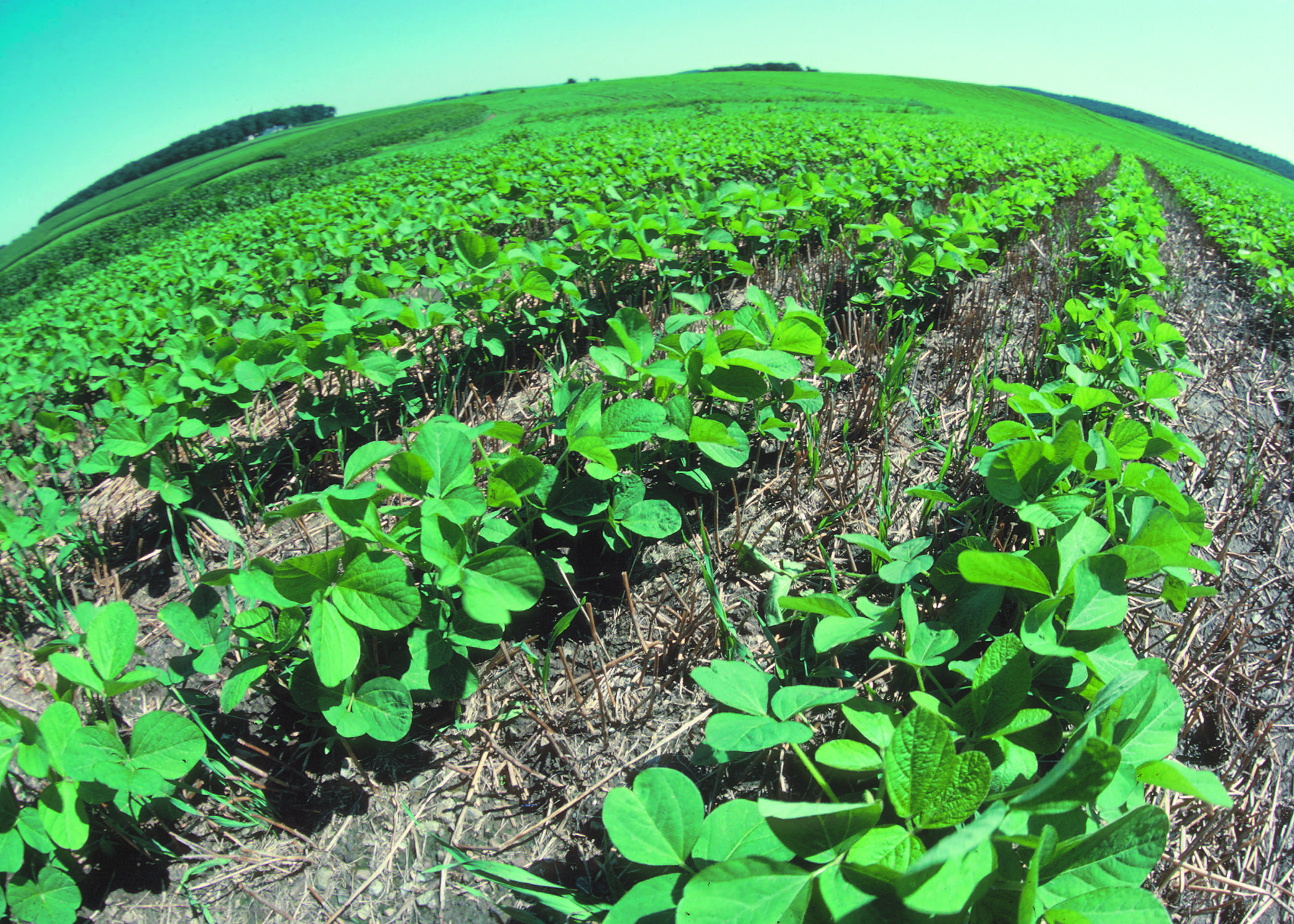 Soy beans in a no-till field (Credit: US Department of Agriculture)