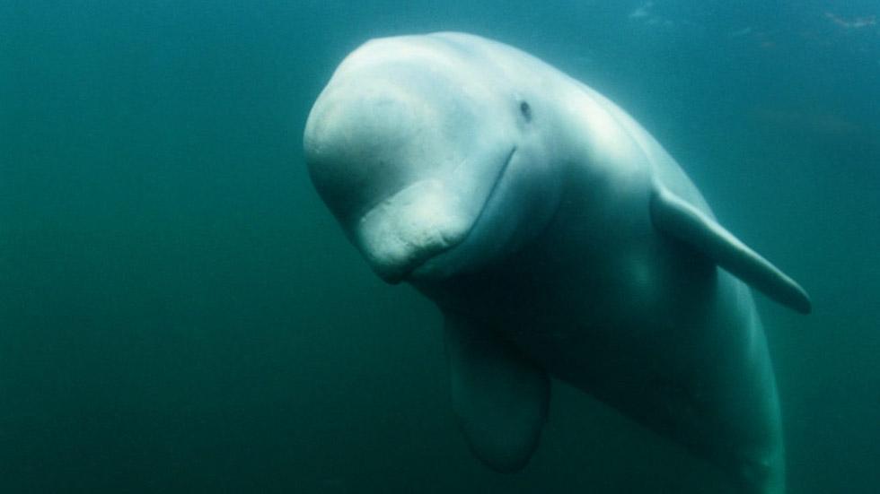 St Lawrence beluga (Nick Caloyianis, National Geographic Creative | WWF-Canada)