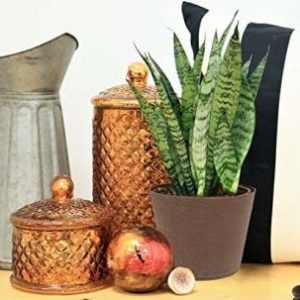 Costa Farms Sansevieria Snake Plant Apartment Living