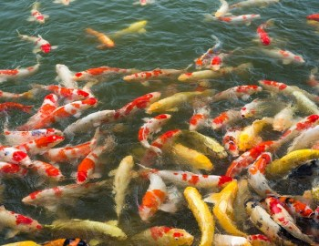 Fische leiden unter Lärm