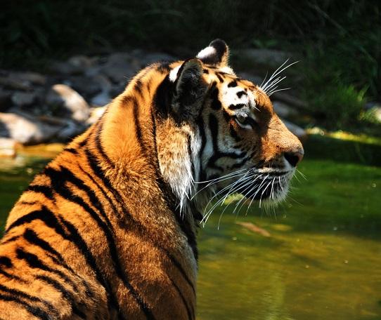Symbolbild Über Wildtiere im Zirkus © Bildagentur PantherMedia lucianmilasan