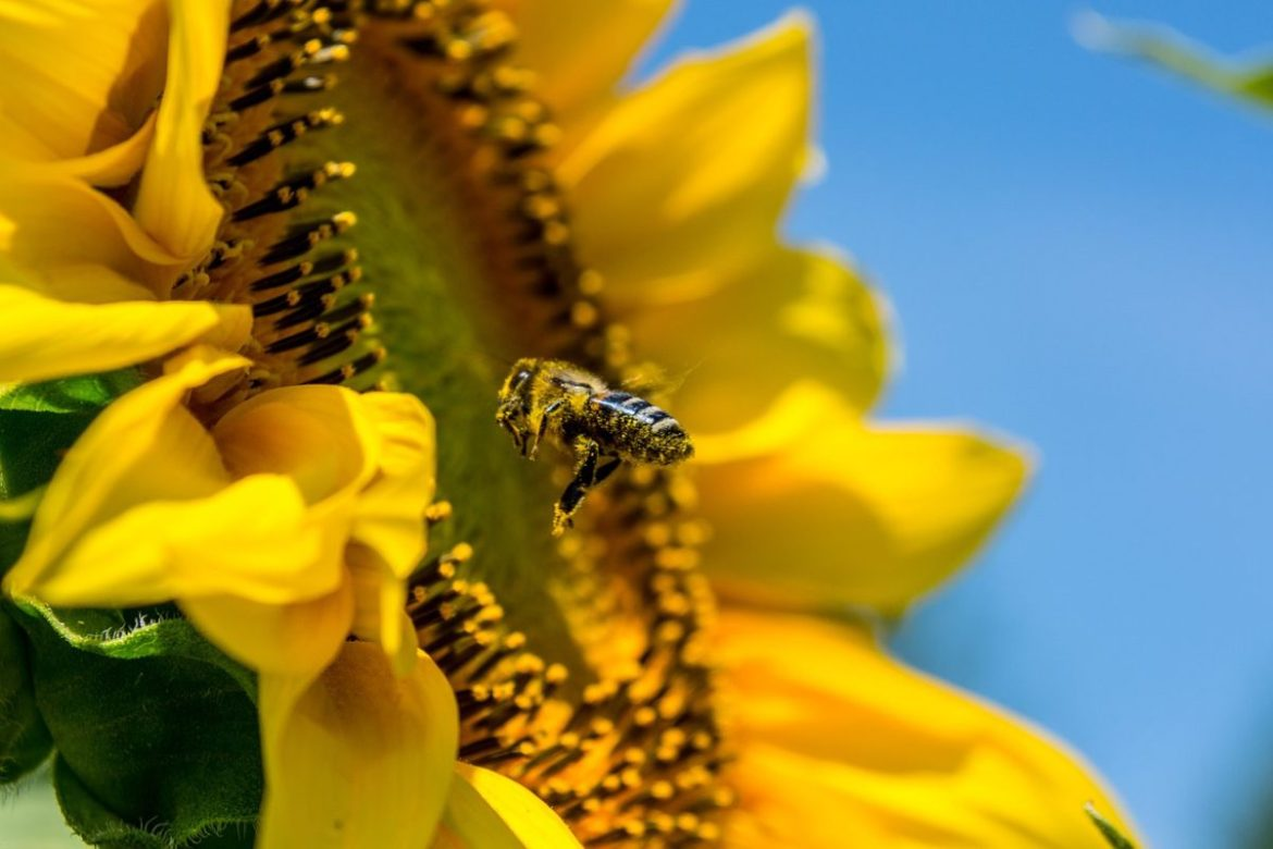 Sunflower with bee landing