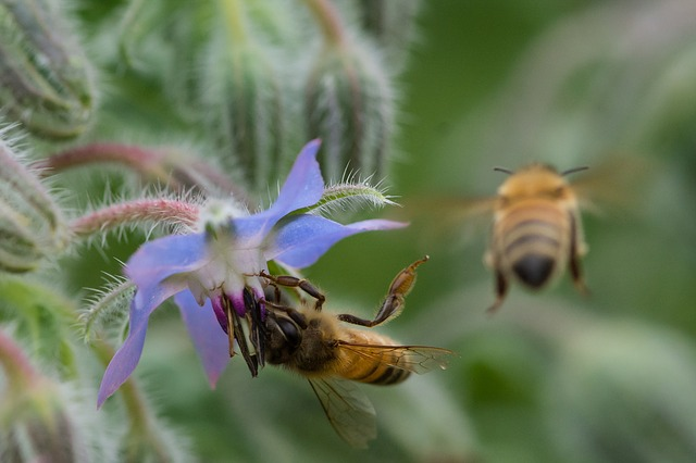One honey bee drinking nectar from a borage flower. Another honey bee is leaving.