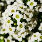 white sweet alyssum, an annual bee flower