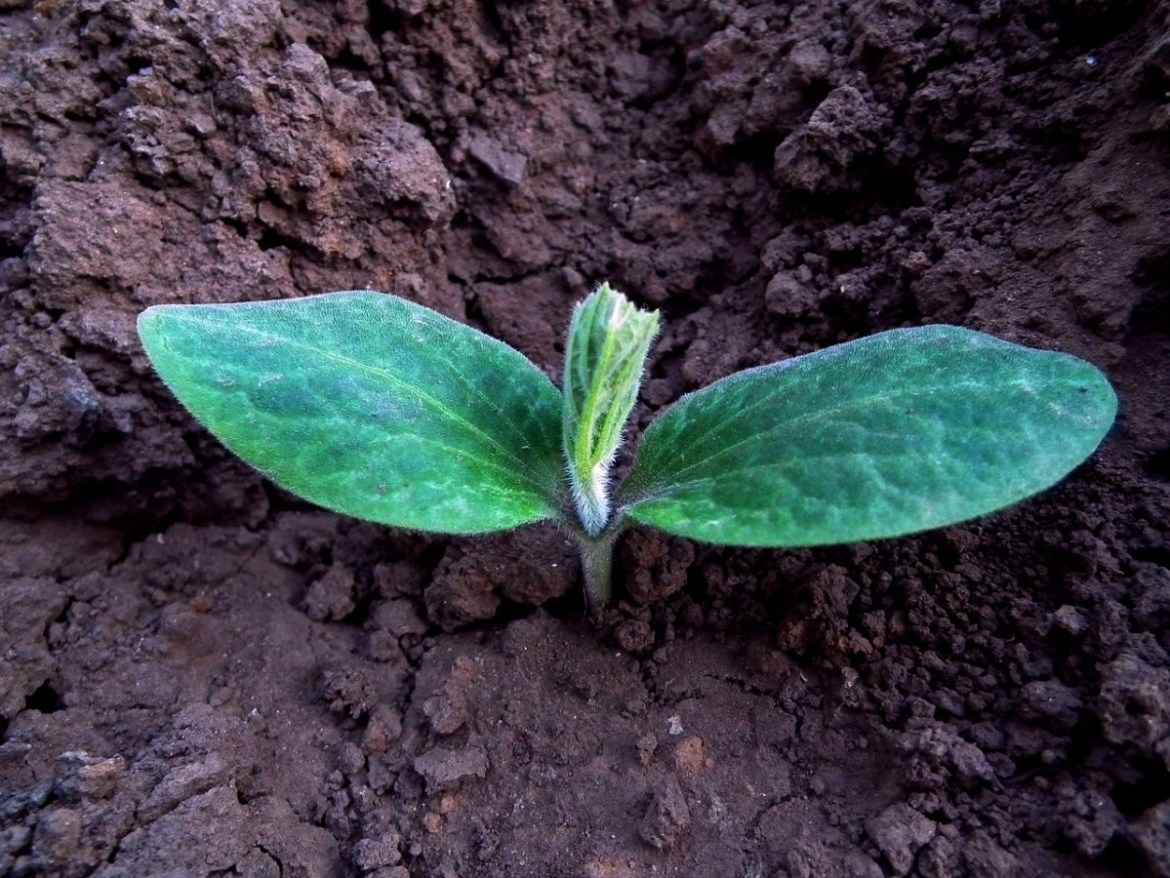 A young seedling in soil, perhaps grown from an organic seed.