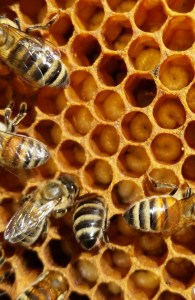 Honey bees larvae in comb