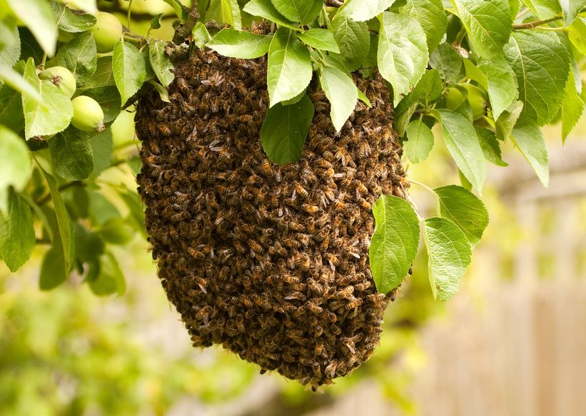 A Swarm of Bees Has Landed in Your Yard What Do you Do?