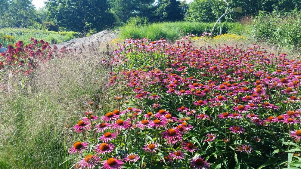 echinacea in bee garden