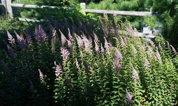 spiraea, bee-friendly gardening