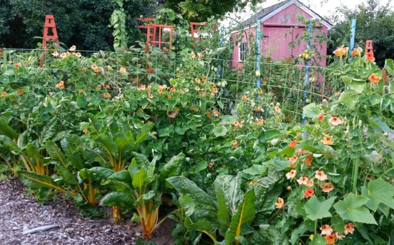 organic vegetable gardening, nasturtiums