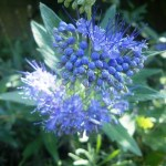 bee plants, blue caryopteris
