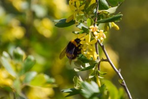 bee flowers, golden currant