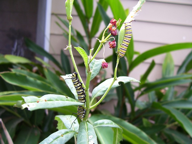 caterpillars on milkweed