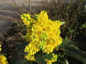 bee flowers, mahonia