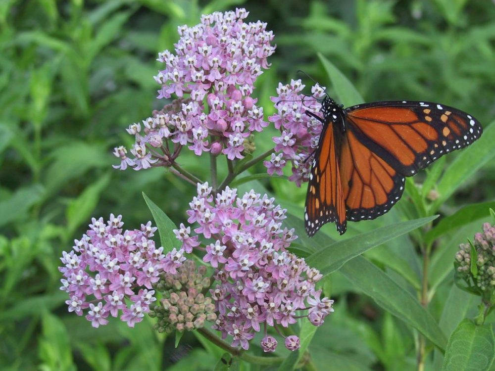 milkweed with monarch