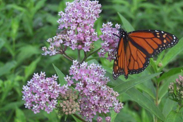 milkweed with monarch