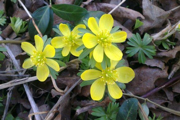bee flowers, winter aconite