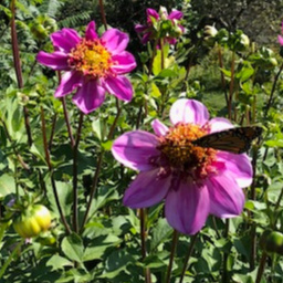 Dad's Favorite Dahlia with butterfly
