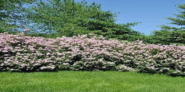 privacy shrubs and fast