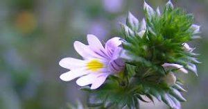Eyebright-herbs for eyes