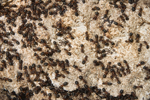 ants nest treatment wolverhampton willenhall dudley , ants in the kitchen wolverhampton , willenhall pest control , ants nest in dudley pest control