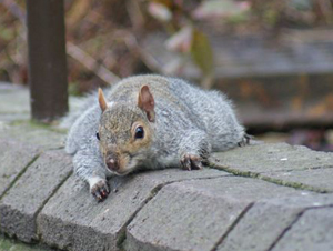 squirrel control wolverhampton , squirrels in the roof , wolverhampton squirrels , vermin control ,