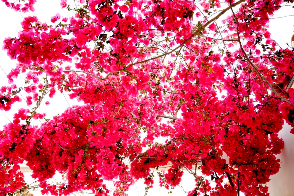 Bougainvillier. © Elodie Rothan