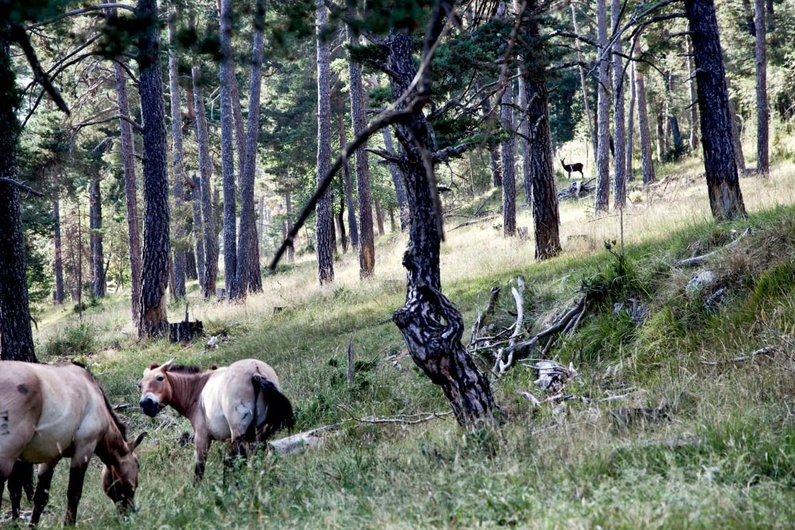 Dans la forêt, des chevaux de Przewalski et des biches... © Elodie Rothan