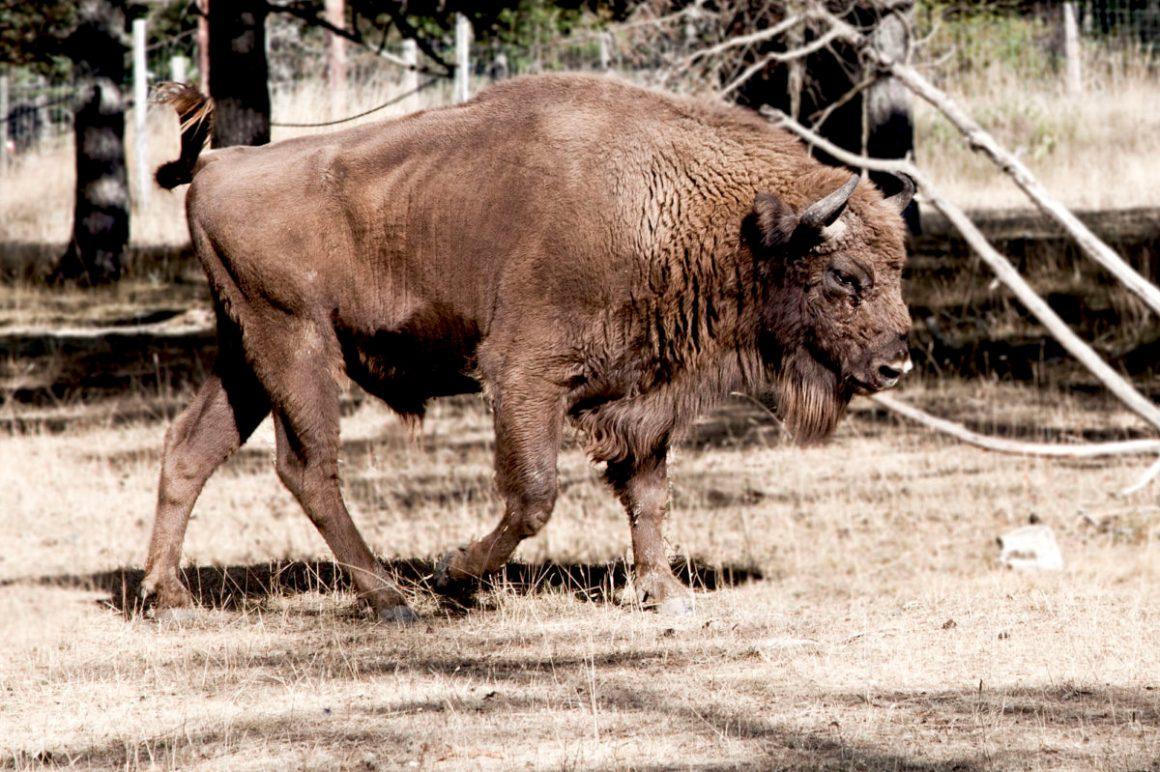 Le bison, Réserve animalière des Monts d'Azur, Alpes-maritimes. © Elodie Rothan