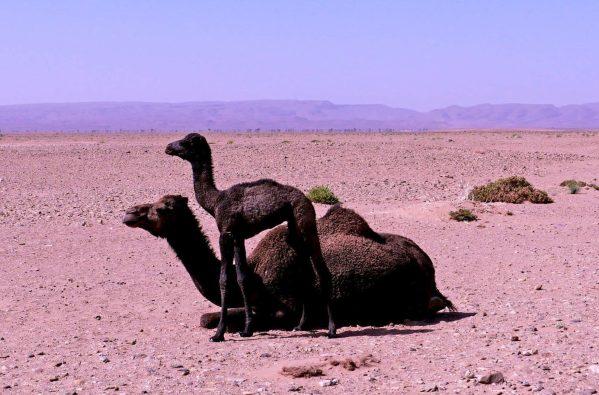 Dromadaires, Umnya Dune Camp, Maroc. © Elodie Rothan