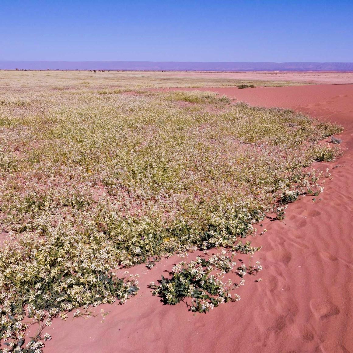 Eclosion printanière, Umnya Dune Camp, Maroc. © Elodie Rothan