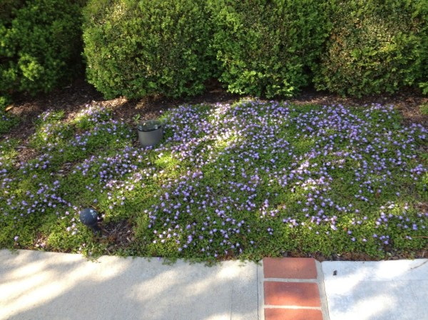 favorite ground cover plant