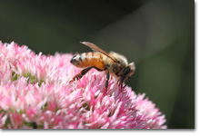 https://i0.wp.com/www.greenlivingnewsletter.com/_images15/bee-flower.jpg
