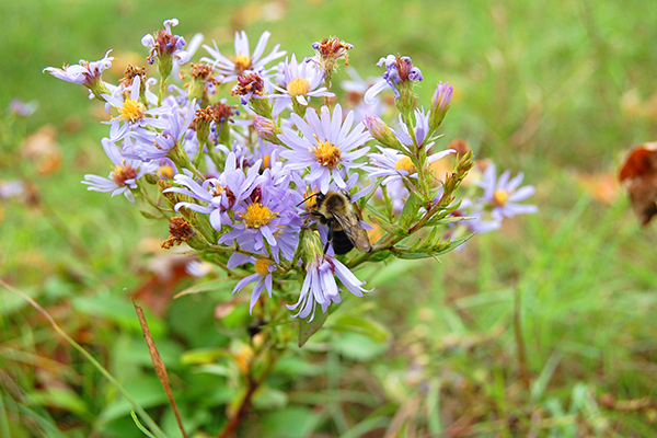 bee gorges on aster pollen