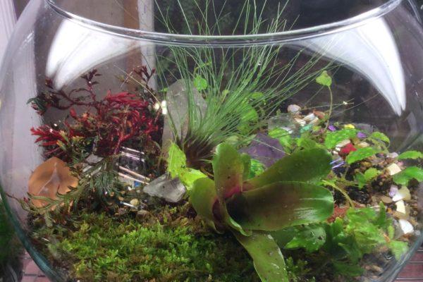 Lucious ten inch bubble bowl, with neoregelia, ruby red spike moss selaginella, tillandsias filifolia, feather moss, tillandsias bulbosaaverage cost for 10 inch